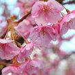 桜見物のハシゴ