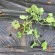 5/19(土)サツマイモ畝を作りました & プリンスメロン、スイカ摘芯他