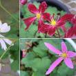 大文字草の花も