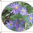 紺菊と 野菊の仲間