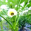 今年はオクラが売れ残り…。2017年オクラ栽培の記録と2018年の栽培計画。