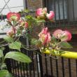 ハナミズキが咲き始め