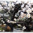 高槻のええとこ 三寒四温(^^♪春の訪れは梅の花から 高槻寺町「理安寺(りあんじ)の白梅」