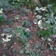 クリスマスローズ自慢の花壇エリア5