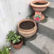 二十日大根(さくらんぼ)の鉢植え