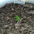 野菜の苗を植える