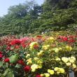 さいたま市中央区 バラ祭り会場