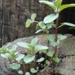庭や鉢植えでミントを楽しもう!