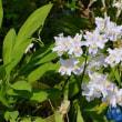 庭の八重咲イチリンソウ
