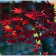 「旧下田邸庭園」 朝の紅葉 (3の2)   ★ 2017.12.10. ★