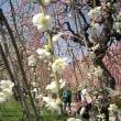 枝垂れ梅 №45  緑萼枝垂