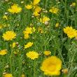シュンギク 春菊 キク科 花を食べる菊に対して茎葉を食べる菊の花です。今日の野鳥:メジロ