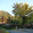 明泉寺の大イチョウ