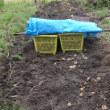 昨日 今年のジャガイモ堀をした。