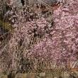 奈良で一番早く咲くさくら、氷室神社