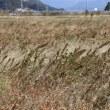 ホナガイヌビユ(ヒユ科・ヒユ属)一年草