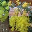 ミモザの花は