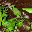 579号 江都青長ダイコン「ビタミンダイコン」の栽培。ヤーコン茶つくり。花と木の苗。