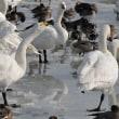 白鳥の湖・瓢湖2