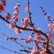 2月中旬過ぎの砧公園で(1)サンシュユ、マンサク、ウメ