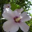 青空とむくげの花