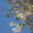 桜&ジューンベリー♪
