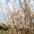 ツクシと桜
