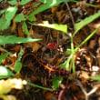 スミレの種とツマグロヒョウモンの幼虫