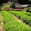 日本茅葺紀行 NO,412 茶畑のある風景