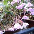 石斛(せっこく)という花