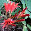 狐の剃刀(きつねのかみそり)という花
