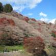 小原(川見)の四季桜