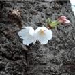 桜の開花を確認(まち歩き)