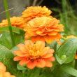 オレンジ色のジニア(百日草)とテッポウユリ