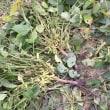 大豆クラブ 枝豆の収穫ウイーク