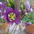 「おはようの花」 西洋オダマキ 2月