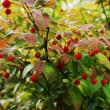 浅草山麓エコミュージアムの 赤い実 アクシバ と ツルシキミ
