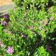 木立ベコニア&ダルマ紫苑& ベニアオイ 他