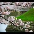 彦根城の満開の桜
