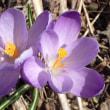 春一番の花は 福寿草 クロッカス