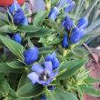 近所で見た花 ハナトラノオ、リンドウなど