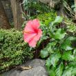 敬老の日に咲くハイビスカス