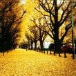 イチョウの葉の黄色い絨毯を見ながらこの葉を食べると記憶力が大増進か…