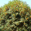 キンモクセイが香ります~~隣の木ですが~~~~(^_^;)))