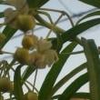 庭の花(キツネノカミソリ、フウセントウワタ)