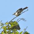 モエレの鳥たち 10/14 ハシビロガモ問題