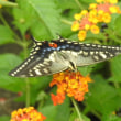アゲハ蝶と百日草