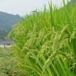 稲作 10月(刈り入れ)