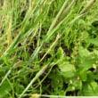 水戸の野草(6)