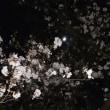 桜満開となりました